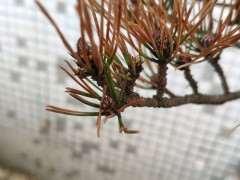 赤松下山桩怎么种了一个月 叶子黄了 如何成活?