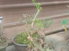 紫薇下山桩 栽了半个月 还可以成活吗 图片
