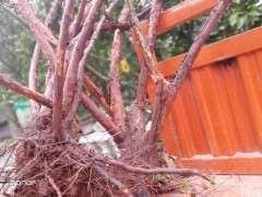 山木香下山桩怎么栽培 如何容易发芽成活