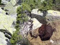 松树下山桩什么时候挖掘成活高 图片