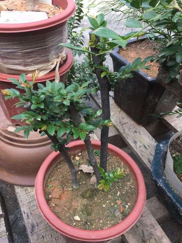 黑骨茶下山桩栽下了 要多久才发芽?