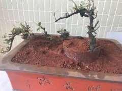 养活云南清香木下山桩的3个注意事项 图片