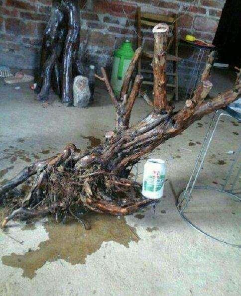 雀梅下山桩十几天不长新根 要重新修根吗?