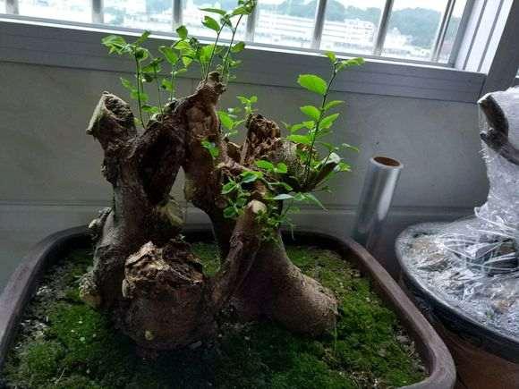 朴树下山桩发芽怎么开始枯萎了?