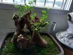 朴树下山桩发芽怎么开始枯萎了 图片