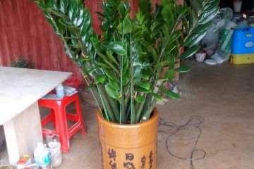 泰竹盆景种植技术