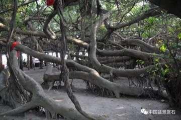图解 以榕树盆景实证新的盆景制作流程