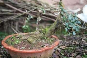 重庆石柱邓氏苗木种植场批发销售绿化苗木盆景