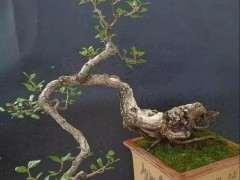 野生下山桩盆景怎么上盆 如何生根与发根