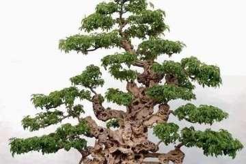 如何让黄荆老桩盆景快速发新芽?