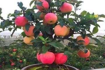 如何制作苹果盆景老桩?