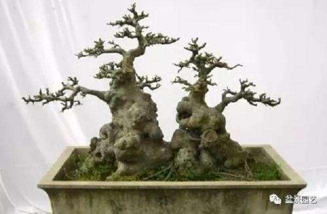 榆树怎么制作老桩盆景