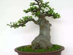 榆树下山桩怎么养活 如何制作成盆景