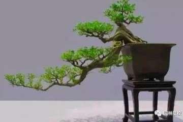 盆景的伤口处理与榆树盆景制作工序详解