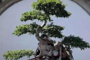 如何养护榆树盆景 以下为注意事项