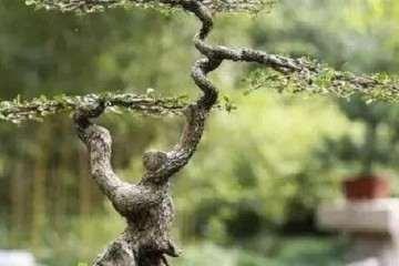 如何选材并制作一棵榆树盆景?
