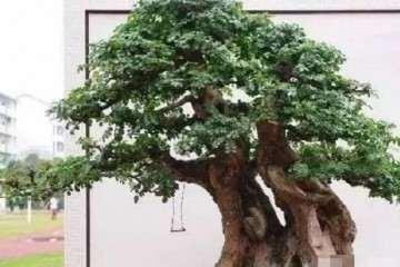 榆树盆景移栽要注意这3点 才会易成活
