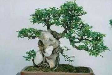 种植榆树盆景的3个注意事项