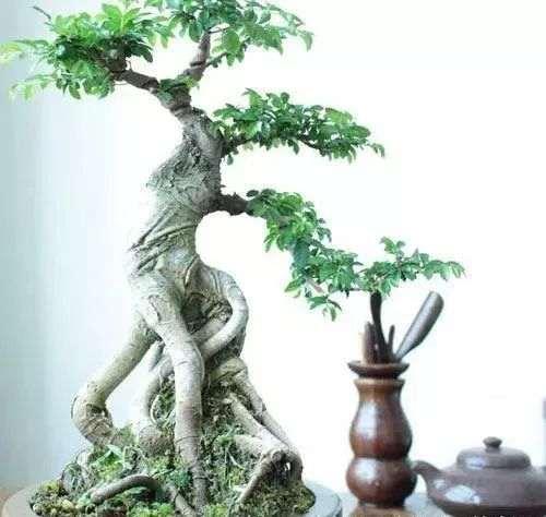 如何将榆树根扦插成苗制作盆景