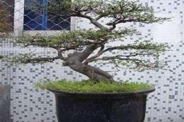 如何将榆树生根扦插成苗制作盆景的方法?