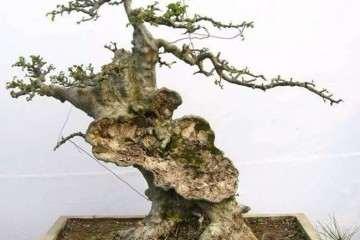 购买榆树盆景材料 该如何选老桩?