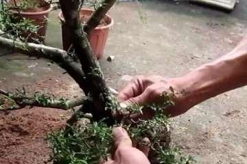 用榆树做盆景的小妙招 一起来看看吧!