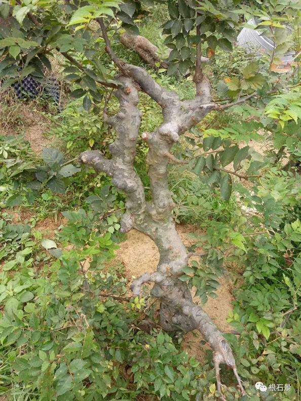整了棵榆树下山桩来做盆景 大家看看