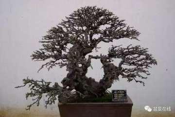 培养榆树盆景的4个具体问题 挖桩与盆土