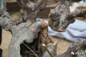 图解 王恒亮对榆树盆景的改做方法