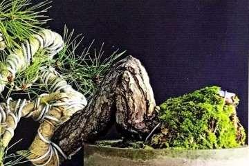 盆景枝干弯曲上翘的最好制作方法