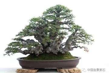 图解 榔榆盆景作品的成长历程 7幅