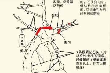图解 怎么把三角枫制作成附石盆景?