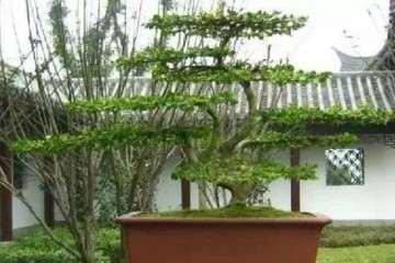 学做盆景时 如何挑选小黄杨雀舌树苗?