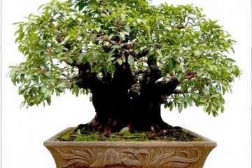 柯成昆先生为推动榕树盆景的发展而全力以赴