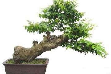五角枫盆景的播种技巧