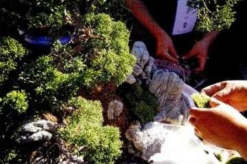 图解 树石盆景的布局技巧 8幅