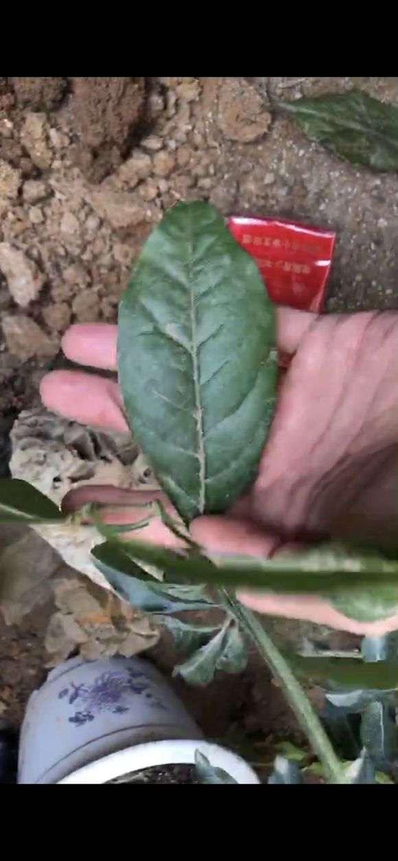 金弹子下山桩的大叶子和小叶子对比