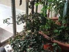 金弹子下山桩换土洗根后 不发芽 还掉叶子