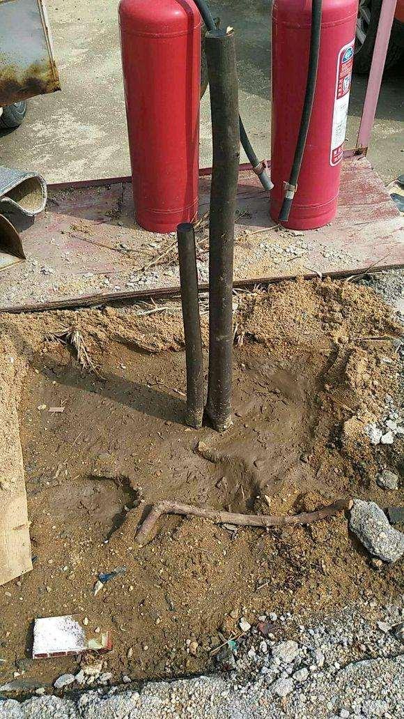 在山东养金弹子下山桩可以成活 放心种植