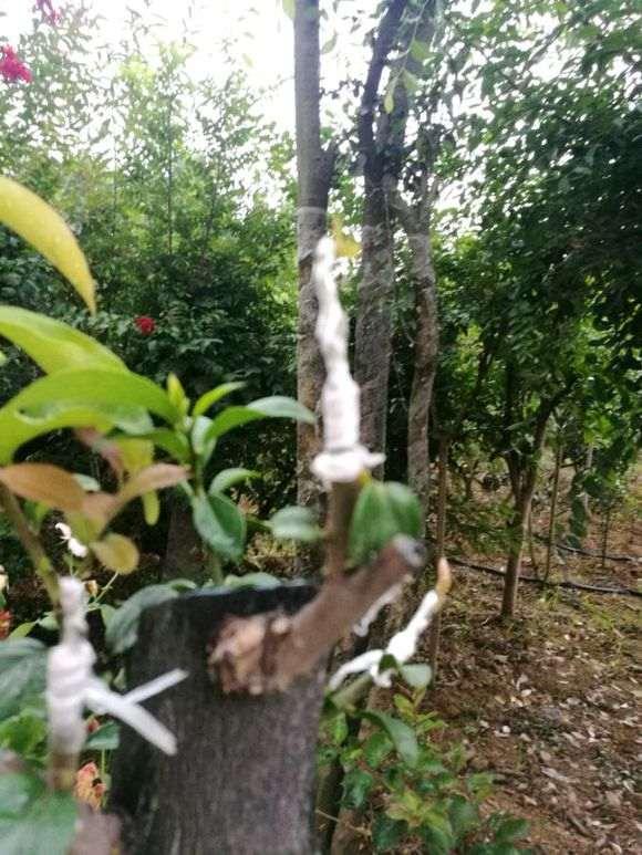 嫩枝嫁接的金弹子下山桩怎么发芽成活