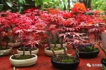 制作红枫盆景的土壤要求有哪些?