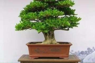 黄杨盆景枝弱叶少 用摘蕾生根的步骤