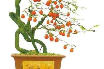 金弹子盆景必须加强修剪 必须面对树的比例