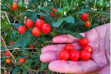 春季金豆老桩盆景在时候进行播种最好