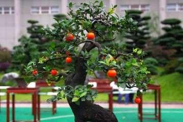 金弹子盆景扦插在春季进行最好生根