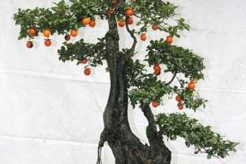 金弹子盆景的嫩枝可以造型吗 如何造型?