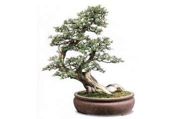 雀梅盆景怎么发芽成活后 还能修剪吗?