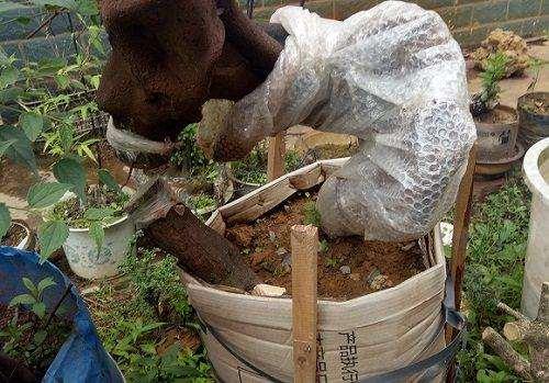 十年老花匠养护金弹子下山桩的3个方法
