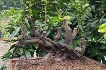 金弹子盆景怎么授粉可以开花繁育的方法