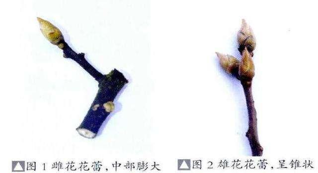 金弹子盆景的雌雄花蕾辨别法